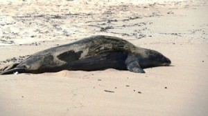 Endangered Hawaiian Monk Seal Resting on the Beach