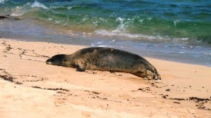 Endangered Hawaiian Monk Seal Resting on a Sandy Beach