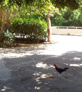 Local wild rooster eating a mango at the Kauai Beach Inn