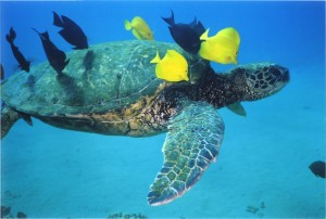 Hawaiian green sea turtle with tropical fish