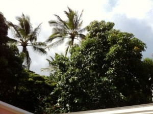 Avocado Tree at Kauai Beach Inn
