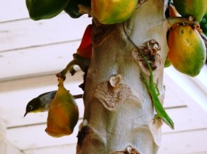 Japanese White Eye Bird and Lizard on Papaya Tree