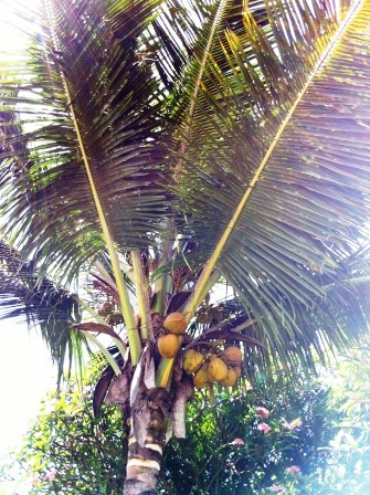 Coconut palm tree with coconuts