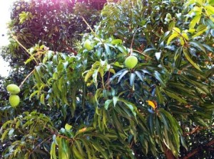 Mangoes on the Mango Tree