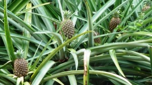 Pineapples growing on pineapple plants